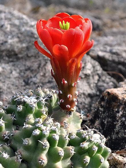 Echinocereus triglochidiatus inermis