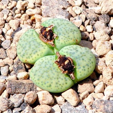 Lithops fulviceps Aurea C363