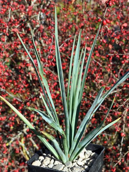 Yucca linearifolia Galeana