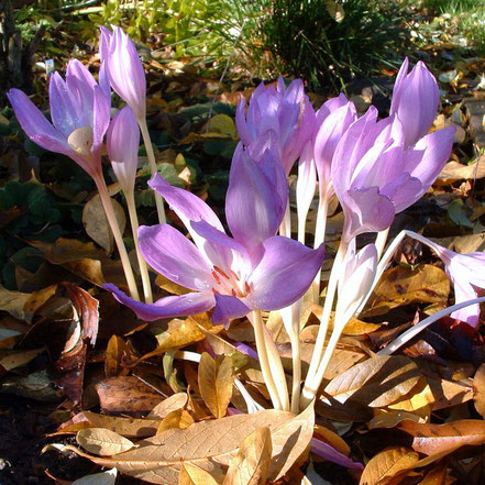 Colchicum autumnale The Giant