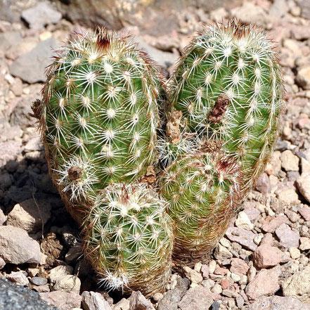 Echinocereus chloranthus cylindricus