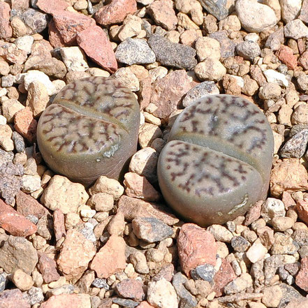 Lithops bromfieldii insularis C042