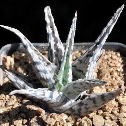 Aloe Blizzard