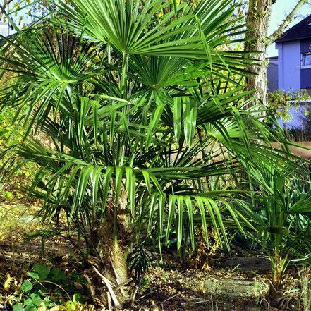 Palmen (Trachycarpus fortunei)