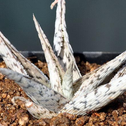 Aloe Snowflake