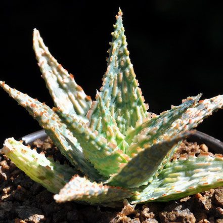 Aloe Franco, Lime Fizz
