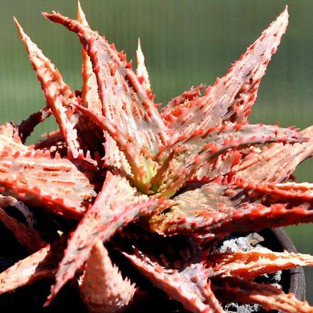 Aloe Spike