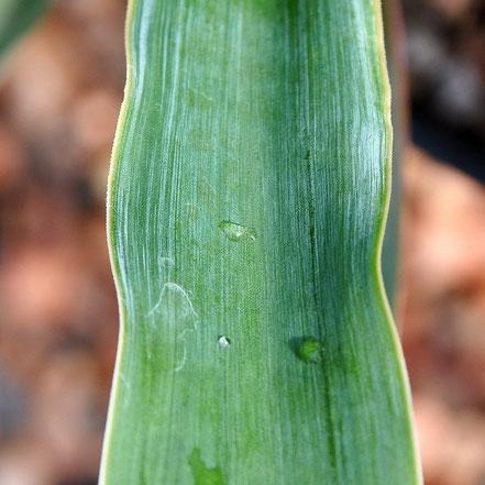 Yucca jaliscensis