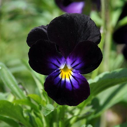 Viola cornuta Black Bowles