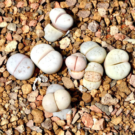 Lithops ruschiorum C387