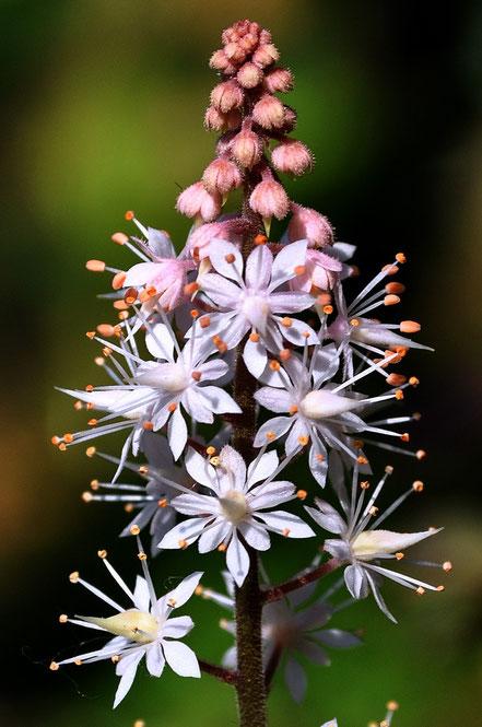 Tiarella Pink Bouquet