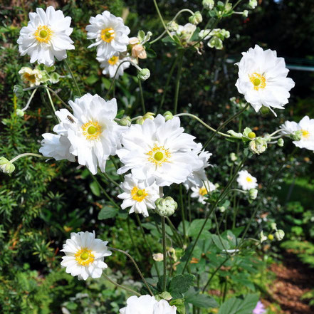 Anemone japonica Whirlwind