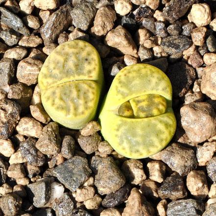 Lithops bromfieldii insularis Sulphurea C362
