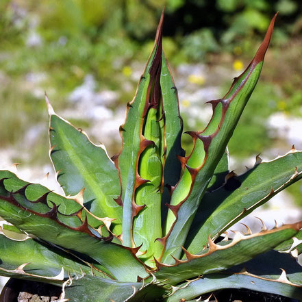 Agave heteracantha