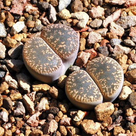 Lithops lesliei hornii