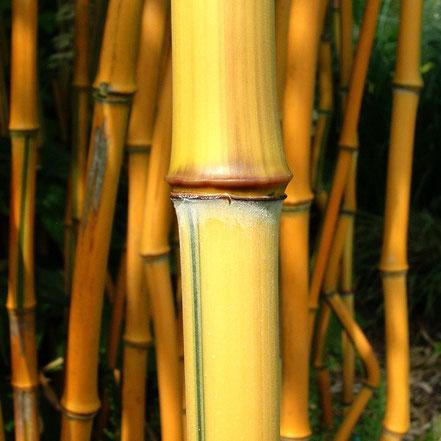 Bambus (Phyllostachys)
