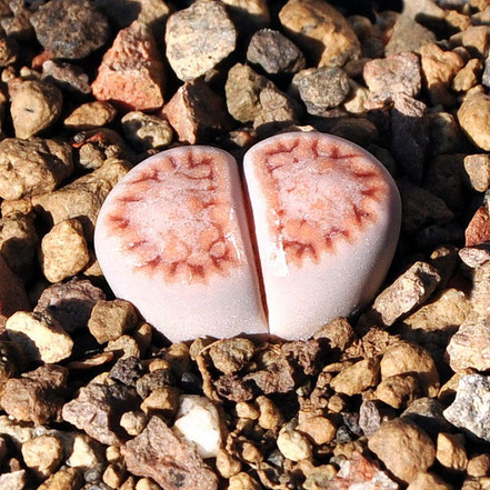 Lithops julii fulleri rouxii C216