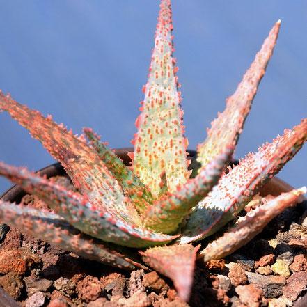 Aloe RFG