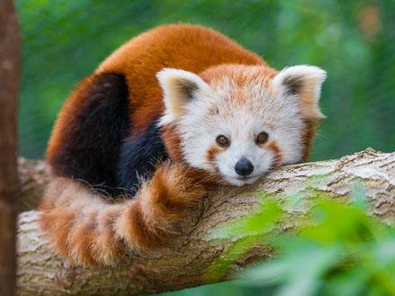 Kleiner Panda im Saarbrücker Zoo