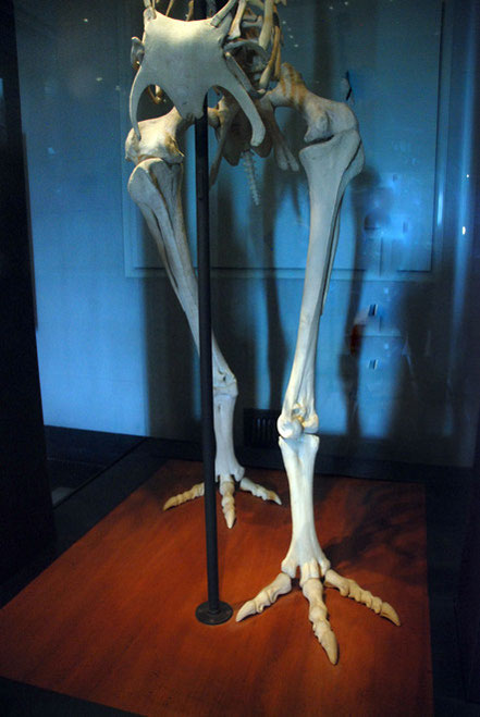 The massive feet and legs of the Giant Moa (Auckland Museum).