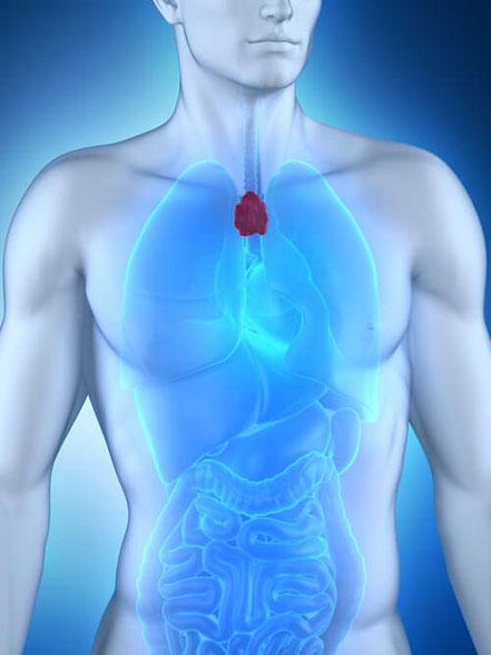Bild: Thymusdrüse beim Mann