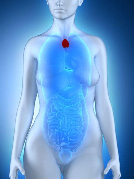 Bild: Thymusdrüse bei der Frau