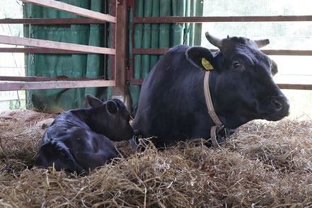 受精卵移植によって生まれた和牛子牛