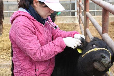 和牛の帝王切開手術