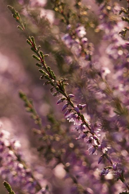 Macro foto bloeiende heide Posbank