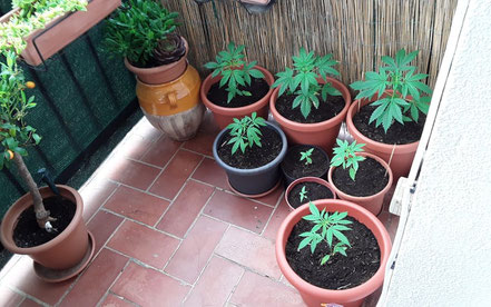 cannabis growing on your balcony