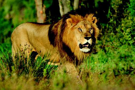lion, réserve africaine de Sigean, nature, animaux sauvages, ballade découverte de la faune avec rc vtc narbonne