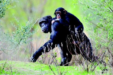 maman singe avec son bébé sur le dos, réserve africaine de sigean, nature sauvage, animaux sauvages visite avec rc vtc narbonne