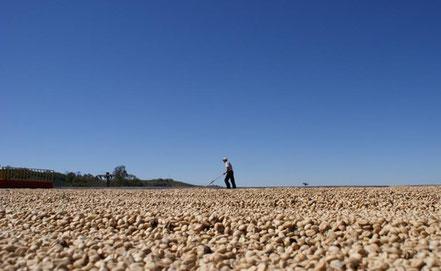 珈琲豆の乾燥