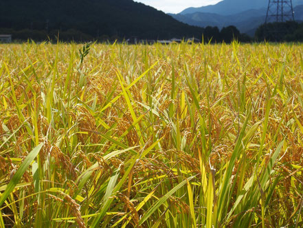 千のしずく米