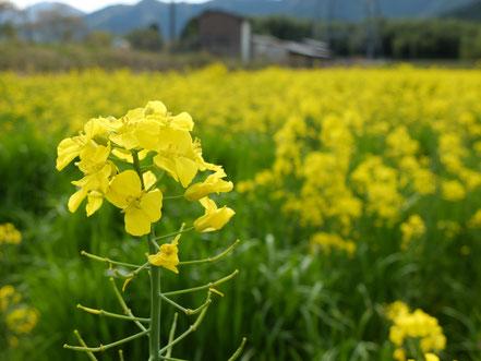 今年の菜の花