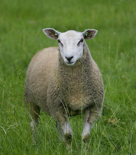 Schaf (Casein-A2-Typ)