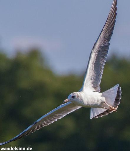 Fliegende Möwe ©geertjens ©wandelsinn