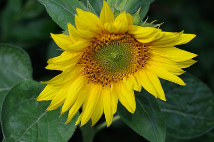 Sonnenblume - Wandelsinn
