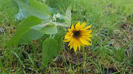 Bizarre Sonnenblume im Garten von @Wandelsinn