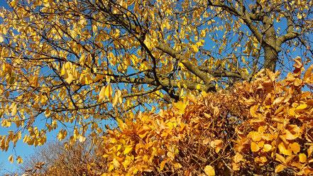 Goldener Herbst im November ©wandelsinn