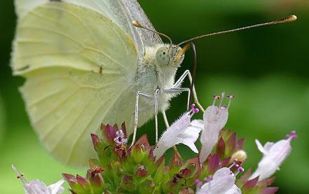 Beflügelt wie ein Schmetterling ©geertjens ©wandelsinn