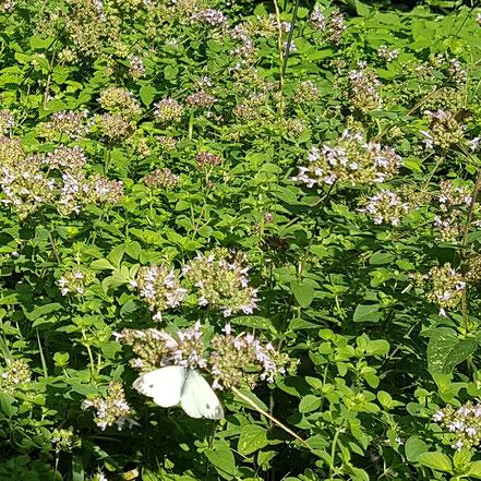 Dost im Garten mit Schmetterling - Wandelsinn