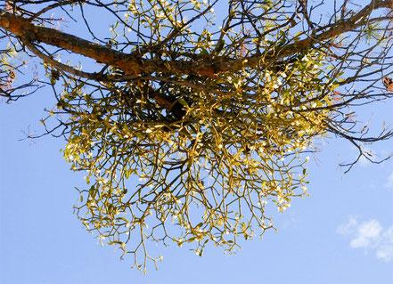 Gui sur une branche de pin.Noter la division dichotomique des branches du gui.