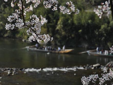 保津川下り桜