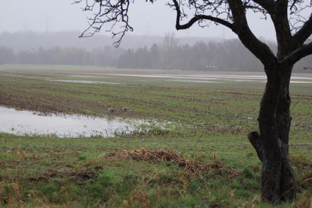 Nach längeren Regenfällen bilden sich Pfützen auf dem unversiegelten Marschboden.