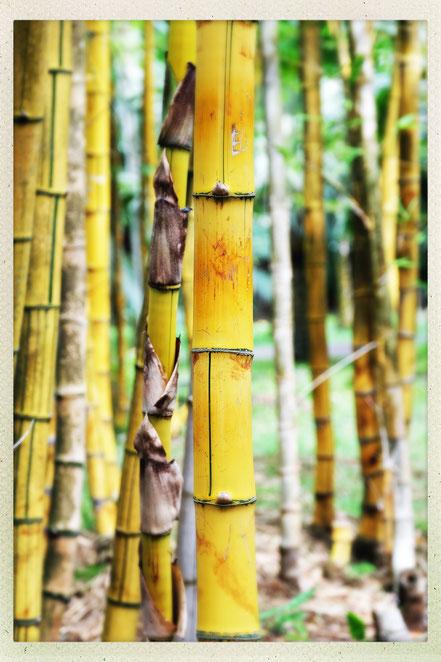 Mauritius Sir Seewoosagur Ramgoolam Botanical Garden Bambus
