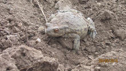 Erdkröte,  fast unsichtbar im Erdhaufen........