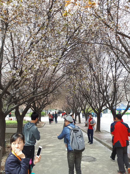 Cherry trees at the Terracotta Army