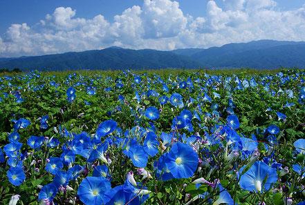 ヘブンリーブルーの畑