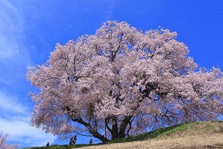 【佳作】山田宗彦「大きな桜の木の下で」